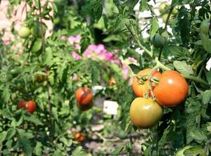 Resident's Tomato Garden
