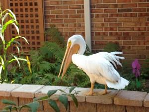 Visit By Pelican